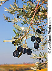 olive branch with black olives for oil production in the...