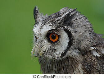 Northern White Faced Owl / Ptilopsis leucotis
