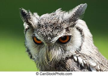 Northern White Faced Owl Ptilopsis leucotis