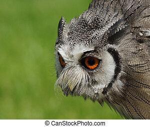 Northern White Faced Owl / Ptilopsis leucotis