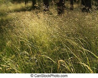 Meadow rass in wind