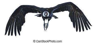 Andean Condor in Flight - Andean condor in flight at a zoo...