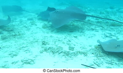 Sharks and Sting Rays in French Polynesian Waters