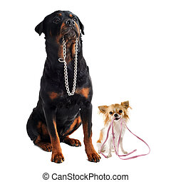 dogs with collar and leash - portrait of a cute purebred...