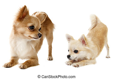 playing chihuahuas - portrait of a cute purebred playing...