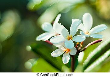 White frangipani flower in garden