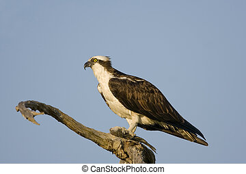 Osprey eating a fish - An Osprey perched in a tree and...