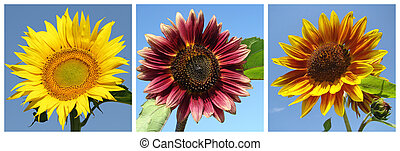 collection of sunflowers - collection of red, yellow and...