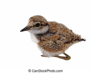 baby Little Ringed Plover isolated - Beautiful baby Little...