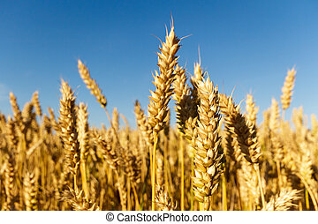 wheat - field of golden wheat and blue sky, agricultural...