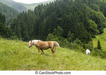 Horses in the italian mountains - Horses at pasture in the...