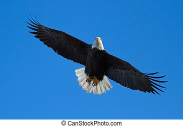Bald Eagle in Flight - A Bald eagle is flying overhead with...