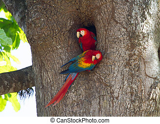 Pair of Nesting Scarlet Macaws - This pair of nesting...