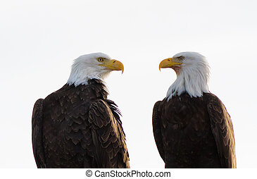 Bald Eagle Pair Facing Each Other - A pair of bald eagles at...