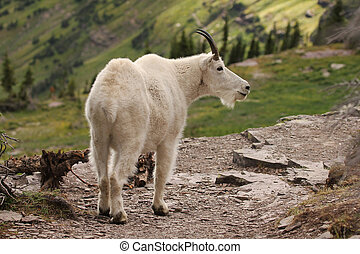 Mountain Goat at Glacier National Park - A mountain goat on...