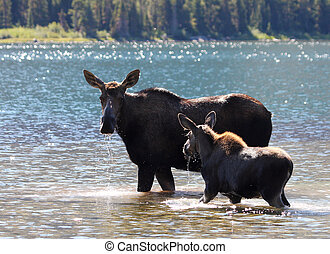 Moose and Calf at Glacier National Park - Moose and Calf at...