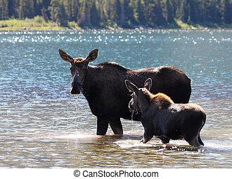 Moose and Calf at Glacier National Park - Moose and Calf at...