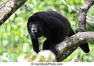 Howler Monkey Howling - An adult black Howler monkey on a...