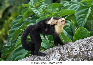 Adult Capuchin Monkey Carrying Baby on its Back - An adult...