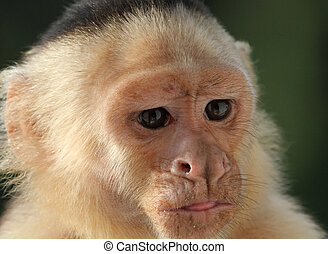 Close-up of a White Faced Capuchin Monkey - Close-up of a...