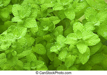 Mentha herb organic herb background