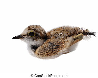 Beautiful baby Little Ringed Plover isolated on white