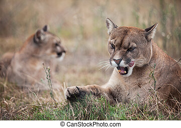 Pumas - The two pumas are laying on the ground and one with...