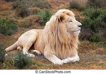 White lion - The white lion is laying relaxed in his...