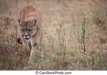 Puma - The puma is walking in the field looking for prey.