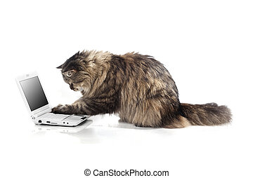 Cat who works for laptop - The image of a cat who works for...