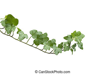 Branch ivy on a white background - Image of the branch ivy...