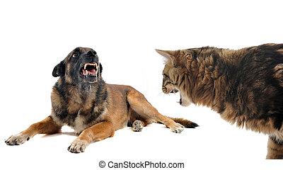 enojado, malinois, gato