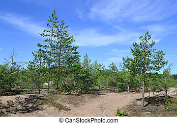 Young pine forest