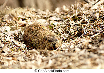 Woodchuck that comes out of his den
