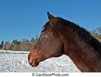 One Sorrel Thoroughbred Horse Side View in Winter