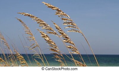 Wind Blown Sea Oats - Sea oats blown by the wind with waves...