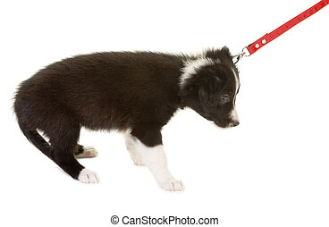 First dog walk on a leash - Young border collie puppy first...