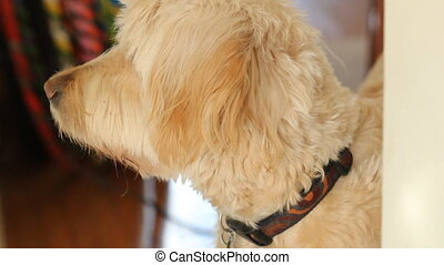 Sunny labradoodle. - A labradoodle turns his head to face...