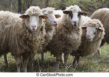 chipped sheep - four sheep with the chips in your ear