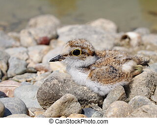 baby Little Ringed Plover, Charadrius dubius