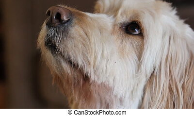 Hopeful dog - A labradoodle looks upwards, hoping for a...