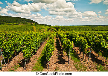 Vineyard and blue sky with clouds