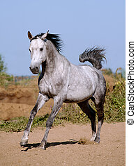 arab stallion running