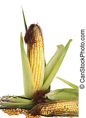 An ear of corn corn on a white background - An ear of corn...