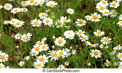 Beautiful wild flowers (anthemis ruthenica)