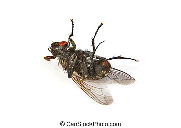 Fly isolated on white Macro shot of a dead housefly - Macro...