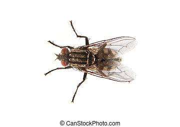 mosca, aislado, blanco, macro, tiro, mosca doméstica