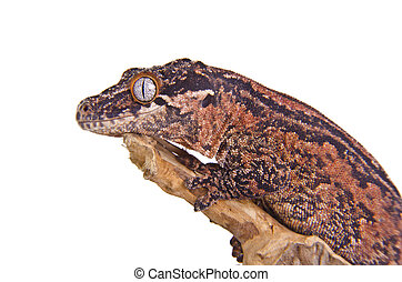Gargoyle Gecko - Close up of a gargoyle gecko against white...