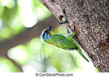 feeding Mullers Barbet - parent child feeding Mullers Barbet...