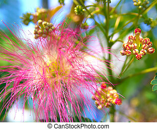 Albizia julibrissin - silk tree - Persian silk tree (Albizia...